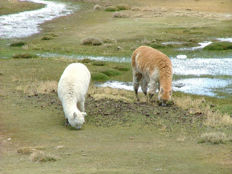 Alpaca al pascolo, Riserva Salinas y Aguada Blanca, Peru